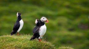 атлантические тупики островов Исландии westman Стоковые Фото