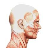 Атлетическое мыжское людское анатомирование и мышцы Стоковое Изображение