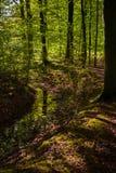 Атмосферическая сцена леса с золотым в начале o солнечного света стоковые изображения rf