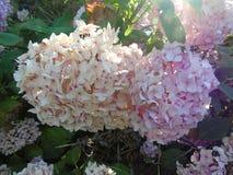 Атмосферические розовые цветки зацветая в Хартфордшире Стоковое Изображение RF