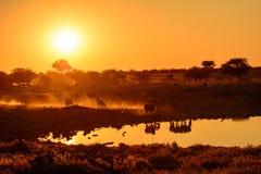 Атмосферическое изображение зебры на waterhole на заходе солнца Стоковое Фото