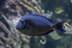 Атлантическая голубая тянь (coeruleus Acanthurus) Стоковые Фото