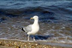 Атлантическая чайка на заливе Gardiners Стоковые Изображения RF