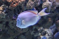 Атлантический голубой surgeonfish тяни Стоковое Изображение