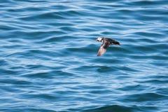 Атлантический тупик летая низко стоковые фотографии rf
