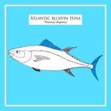 Атлантический эскиз тунца сине-ребра иллюстрация штока