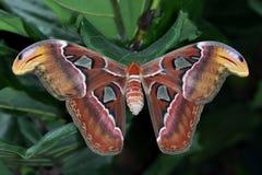 Атлас Attacus бабочки Стоковая Фотография