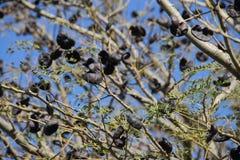 Аутохтонное дерево Стоковое Изображение RF