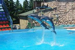 Афалины большие дельфины, или lat афалинов Truncatus Tursiops скача через обручи на perf команды стоковые фотографии rf