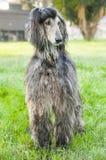 Афганская борзая, собака Стоковое Фото