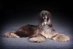 Афганская борзая собаки красивая Стоковая Фотография RF