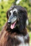 Афганская борзая собаки Стоковое Изображение RF