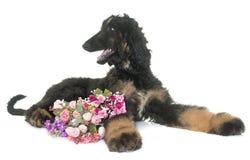 Афганская борзая щенка Стоковое Фото