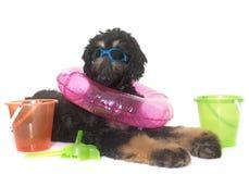 Афганская борзая щенка Стоковая Фотография