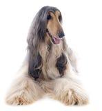 Афганская собака Стоковое Фото