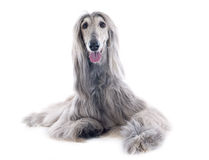 Афганская собака Стоковая Фотография