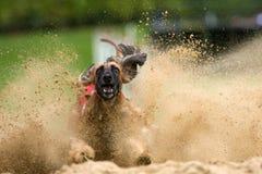 афганские тормозы hound sandpit Стоковые Изображения RF