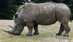 африканец за frim взглядом rhinoceros Стоковые Изображения