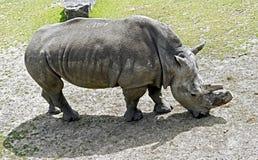 африканец за frim взглядом rhinoceros Стоковое Изображение RF