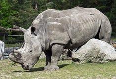 африканец за frim взглядом rhinoceros Стоковые Фото