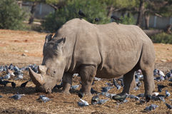 африканец за frim взглядом rhinoceros Стоковое Фото