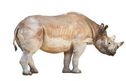африканец за frim взглядом rhinoceros Стоковое Изображение