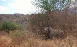 африканец за frim взглядом rhinoceros Стоковые Фотографии RF