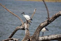 Африканец священный ibis на журнале стоковое изображение