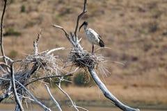 Африканец священный ibis на журнале стоковое фото