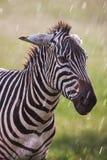 Африканец упрощает зебру на сухих коричневых злаковиках саванны просматривая и пася стоковая фотография rf