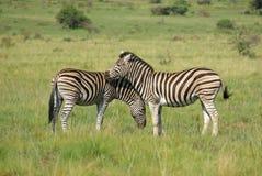 африканец упрощает зебру стоковая фотография