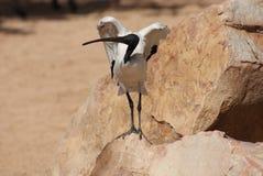 Африканец aethiopicus священного Ibis - Threksiornis стоковые фотографии rf
