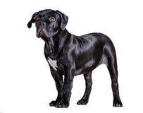 Африканец Boerboel собаки Стоковая Фотография