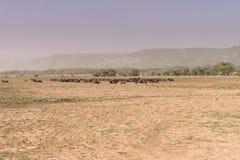 Африканец Buffakos в озере Manyara национальный парк стоковое фото