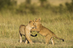 африканец cubs играть льва Стоковая Фотография RF