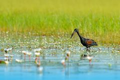 Африканец Openbill, черный большой африканский аист Птица с необыкновенным счетом полезным для того чтобы извлечь улиток в типичн стоковые фотографии rf