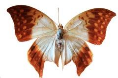 африканская бабочка Стоковое Изображение