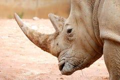 африканская белизна носорога портрета Стоковые Фото