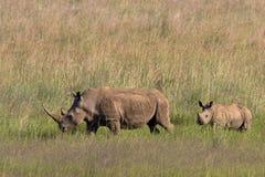 африканская белизна носорога Стоковое Изображение