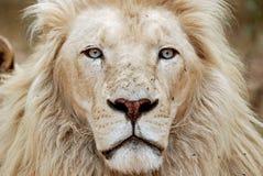 африканская белизна портрета льва Стоковые Изображения