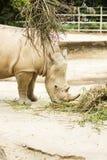 африканская белизна rhinoceros Стоковые Изображения