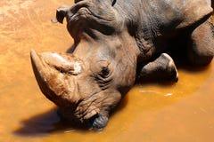 африканская белизна rhinoceros Стоковые Фотографии RF