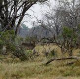 африканская вода самеца оленя Стоковые Фото
