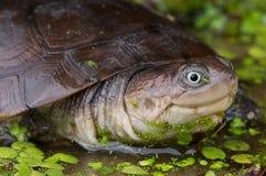 африканская в касках черепаха Стоковые Фотографии RF