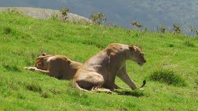 Африканская гордость льва в кратере Ngorongoro видеоматериал