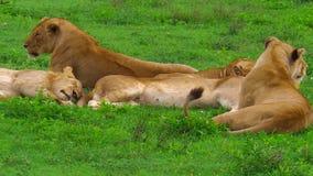 Африканская гордость льва в Ndutu видеоматериал