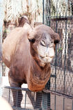 Африканская голова верблюда в зоопарке Стоковые Фото
