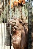 Африканская голова верблюда в зоопарке Стоковые Изображения