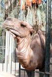 Африканская голова верблюда в зоопарке Стоковая Фотография RF