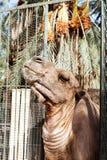 Африканская голова верблюда в зоопарке Стоковая Фотография